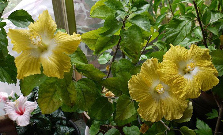 ハイビスカス-レモンイエローの花が3個咲いた。2015年-1.jpg