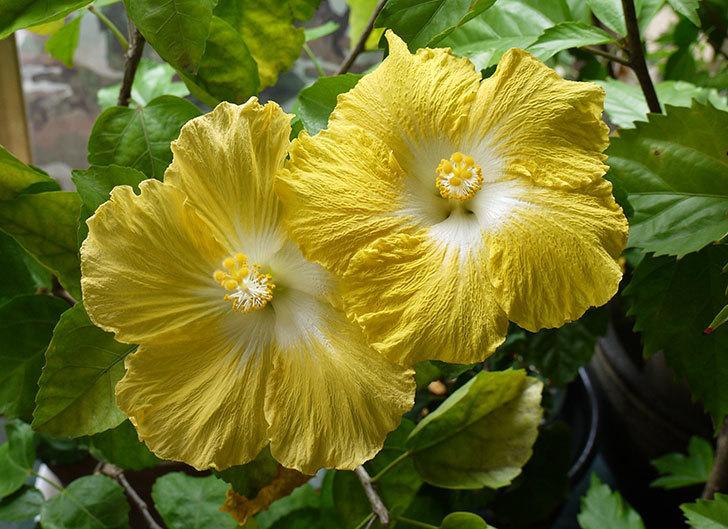 ハイビスカス-レモンイエローの花が3個咲いた。2015年-2.jpg