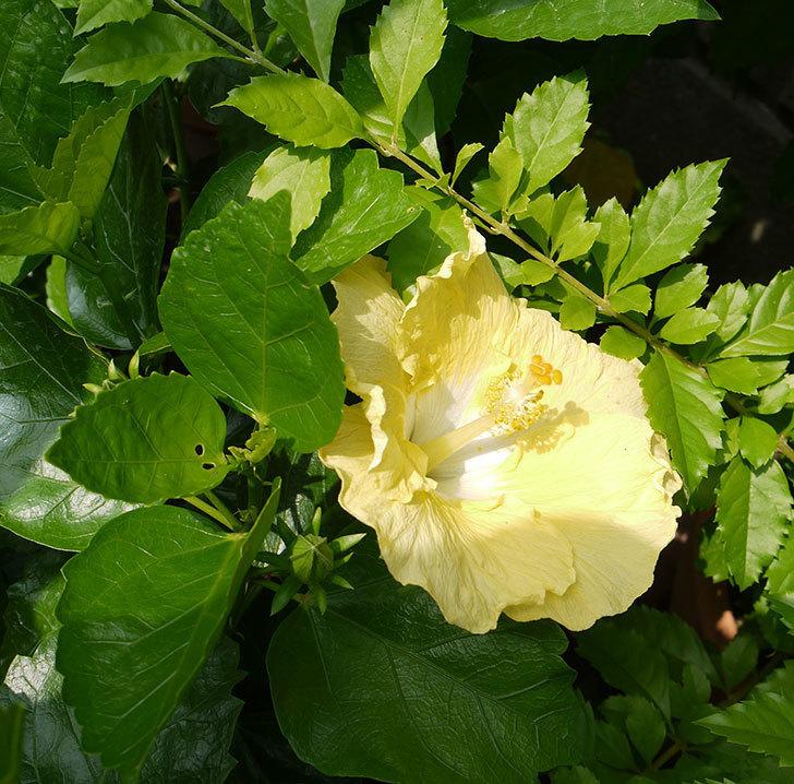 ハイビスカス-レモンイエローの花が咲いた。2016年-2.jpg