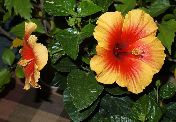ハイビスカス-Newロングライフ・シリーズ-Newアポロに2個目の花が咲いた。2015年-1.jpg