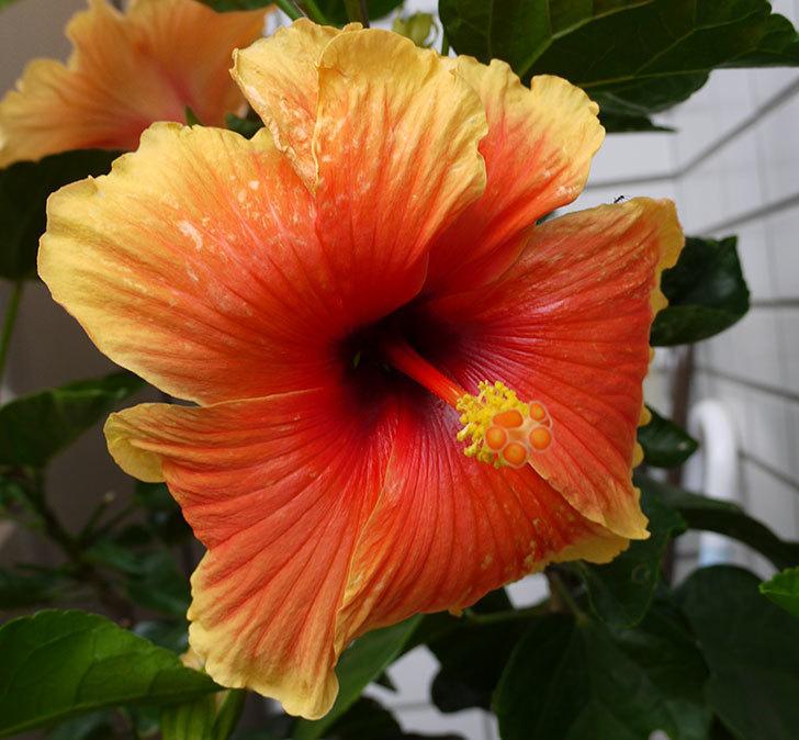 ハイビスカス-Newロングライフ・シリーズ-Newアポロの花が4個咲いた。2016年-5.jpg