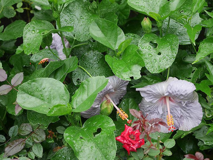 ハイビスカス サニーの花が3個咲いた。2020年-002.jpg