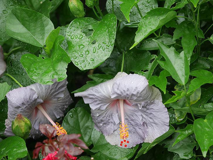 ハイビスカス サニーの花が3個咲いた。2020年-006.jpg