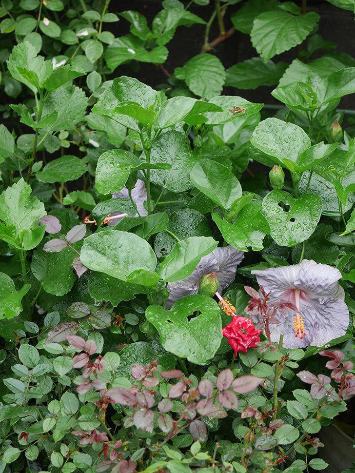 ハイビスカス サニーの花が3個咲いた。2020年-007.jpg