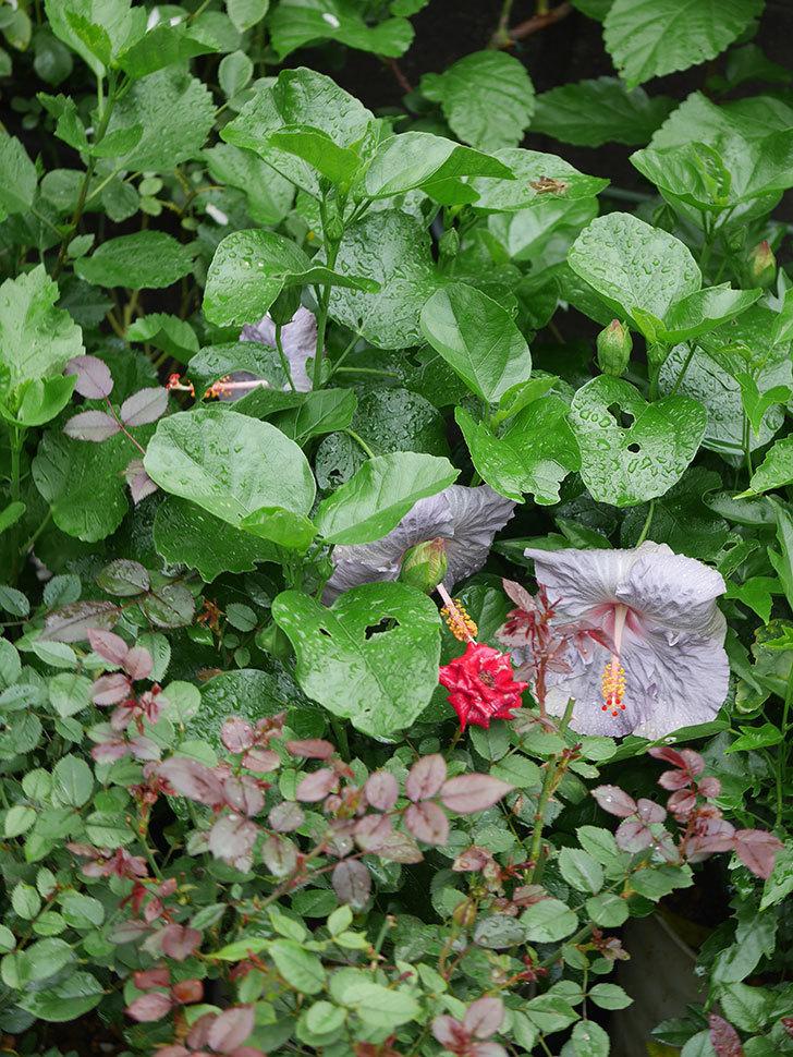 ハイビスカス サニーの花が3個咲いた。2020年-008.jpg