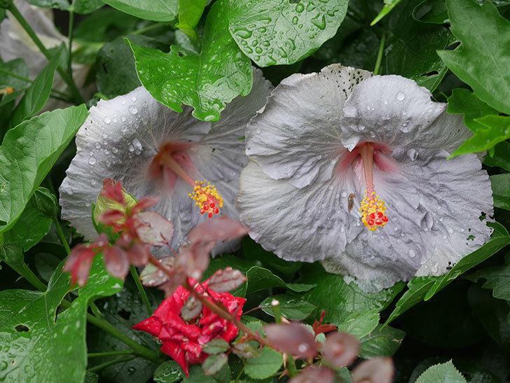 ハイビスカス サニーの花が3個咲いた。2020年-014.jpg