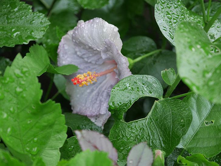 ハイビスカス サニーの花が3個咲いた。2020年-015.jpg