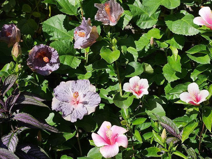 ハイビスカス サニーの花がたくさん咲いた。2020年-001.jpg