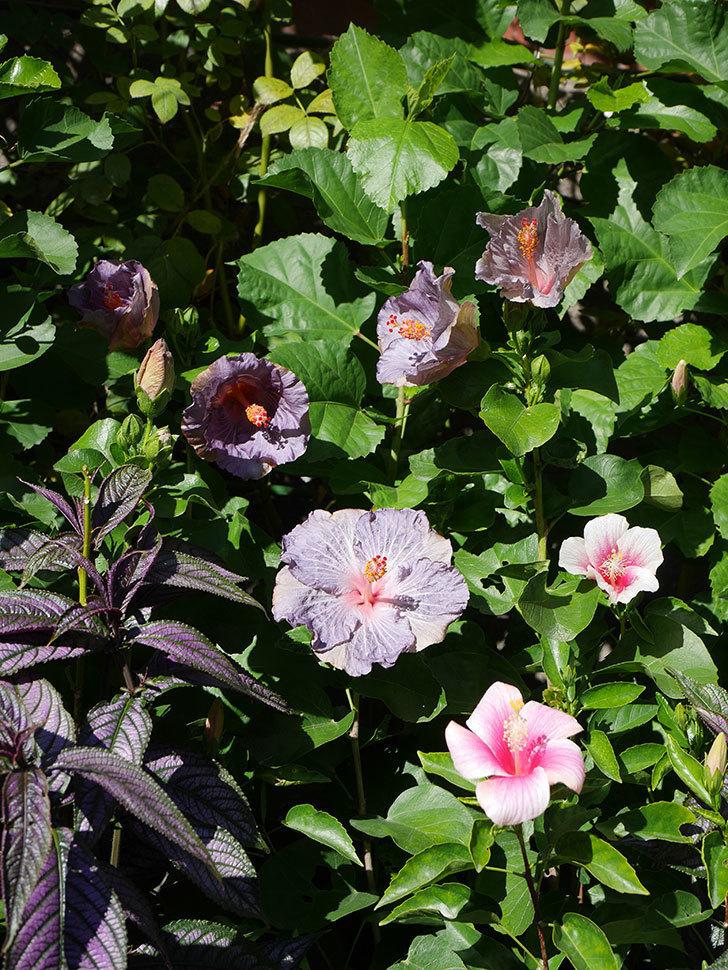 ハイビスカス サニーの花がたくさん咲いた。2020年-002.jpg