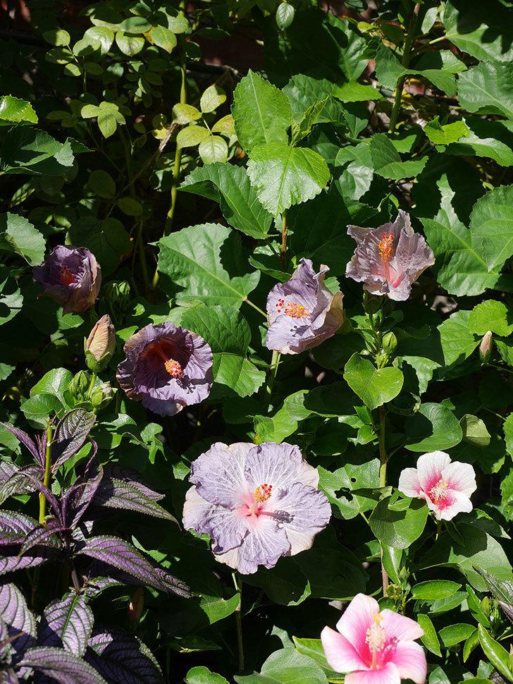 ハイビスカス サニーの花がたくさん咲いた。2020年-003.jpg