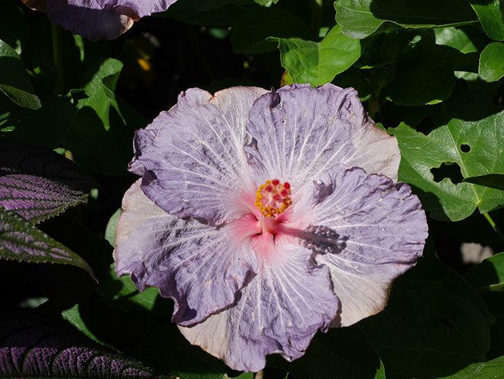 ハイビスカス サニーの花がたくさん咲いた。2020年-004.jpg