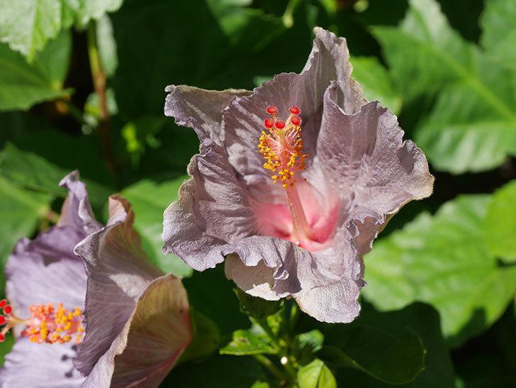 ハイビスカス サニーの花がたくさん咲いた。2020年-009.jpg