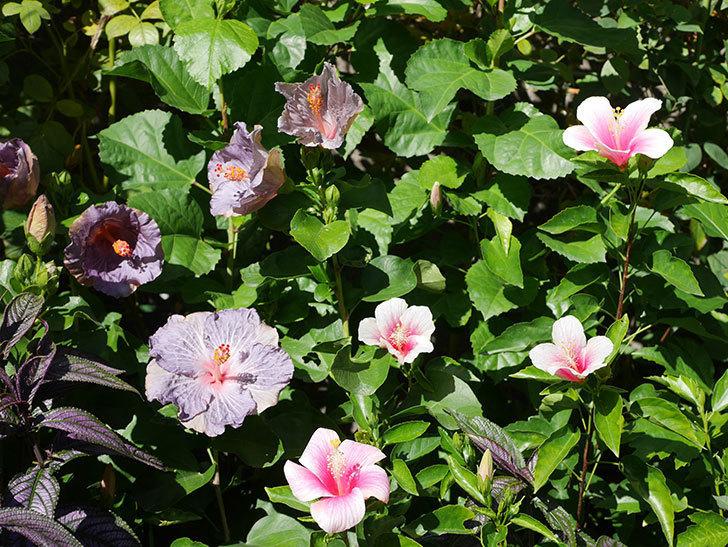 ハイビスカス サニーの花がたくさん咲いた。2020年-012.jpg