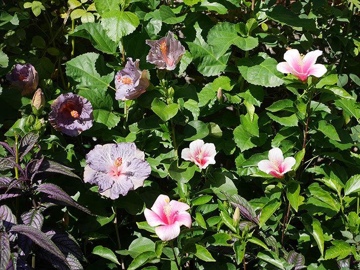 ハイビスカス サニーの花がたくさん咲いた。2020年-013.jpg