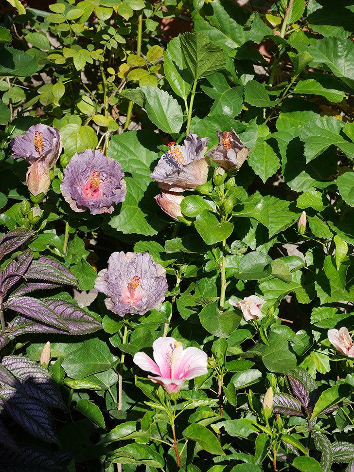 ハイビスカス サニーの花がたくさん咲いた。2020年-015.jpg