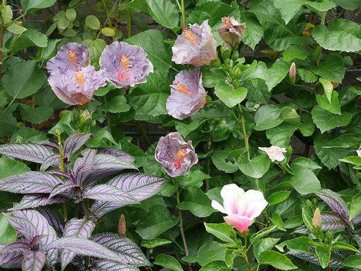 ハイビスカス サニーの花がたくさん咲いた。2020年-017.jpg