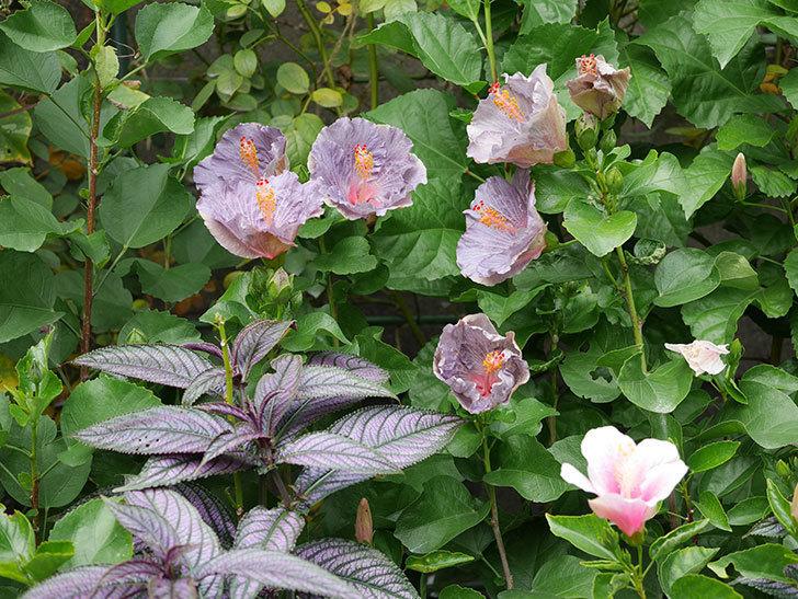 ハイビスカス サニーの花がたくさん咲いた。2020年-018.jpg
