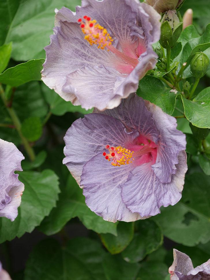 ハイビスカス サニーの花がたくさん咲いた。2020年-020.jpg