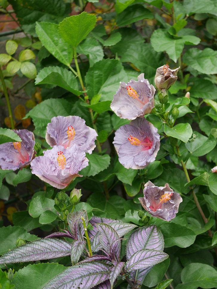 ハイビスカス サニーの花がたくさん咲いた。2020年-022.jpg