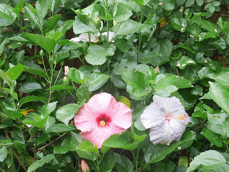 ハイビスカス サニーの花がたくさん咲いた。2021年-002.jpg
