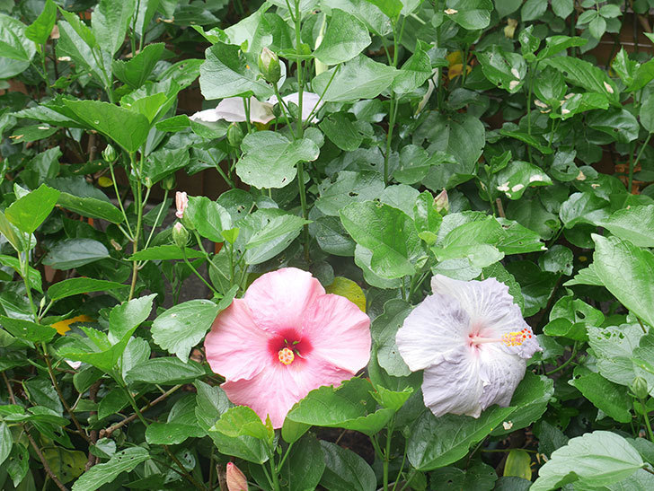 ハイビスカス サニーの花がたくさん咲いた。2021年-003.jpg