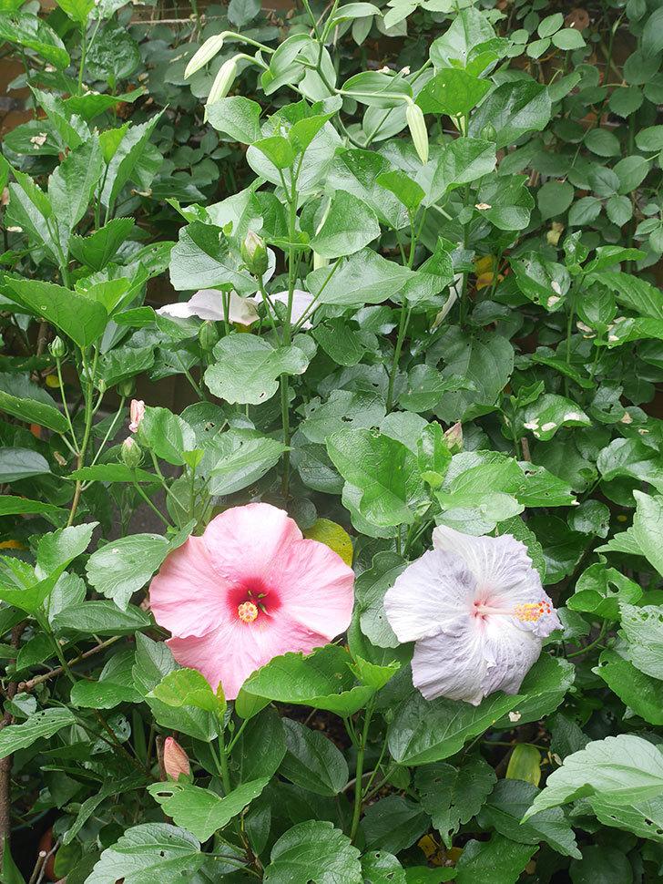 ハイビスカス サニーの花がたくさん咲いた。2021年-004.jpg