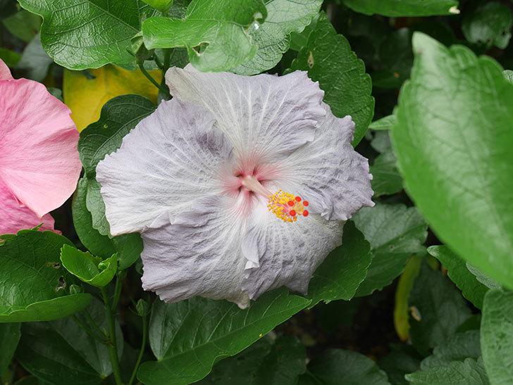 ハイビスカス サニーの花がたくさん咲いた。2021年-005.jpg