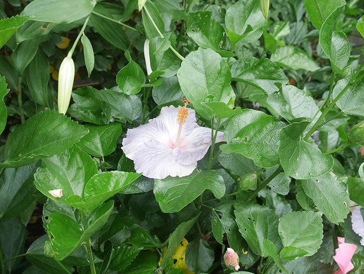 ハイビスカス サニーの花がたくさん咲いた。2021年-007.jpg