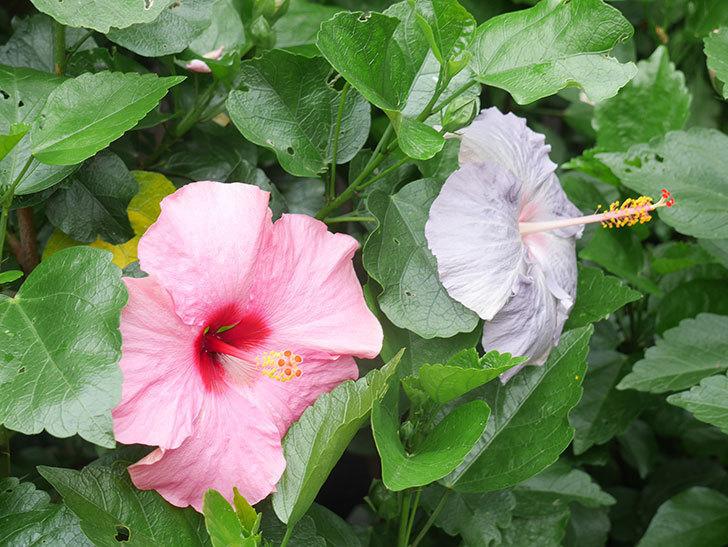 ハイビスカス サニーの花がたくさん咲いた。2021年-012.jpg