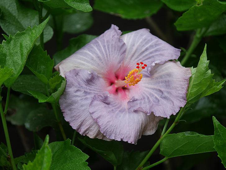 ハイビスカス サニーの花がまた1個咲いた。2020年-002.jpg