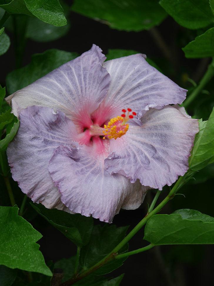 ハイビスカス サニーの花がまた1個咲いた。2020年-006.jpg