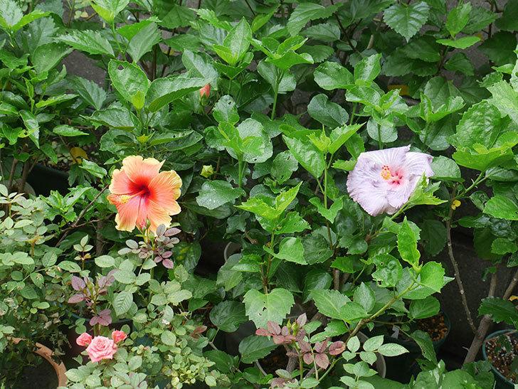 ハイビスカス サニーの花がまた1個咲いた。2020年-007.jpg