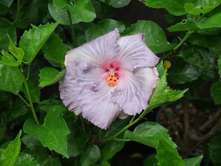 ハイビスカス サニーの花がまた1個咲いた。2020年-009.jpg