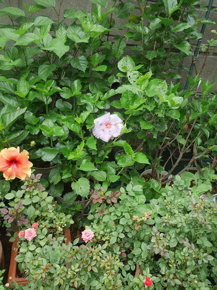 ハイビスカス サニーの花がまた1個咲いた。2020年-010.jpg