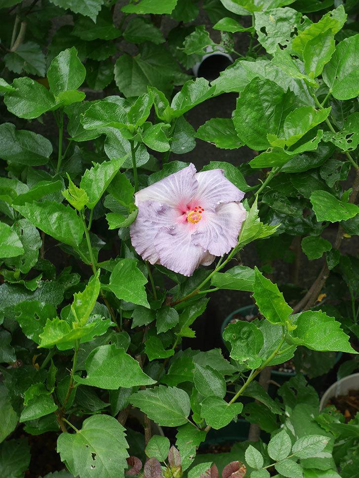 ハイビスカス サニーの花がまた1個咲いた。2020年-011.jpg