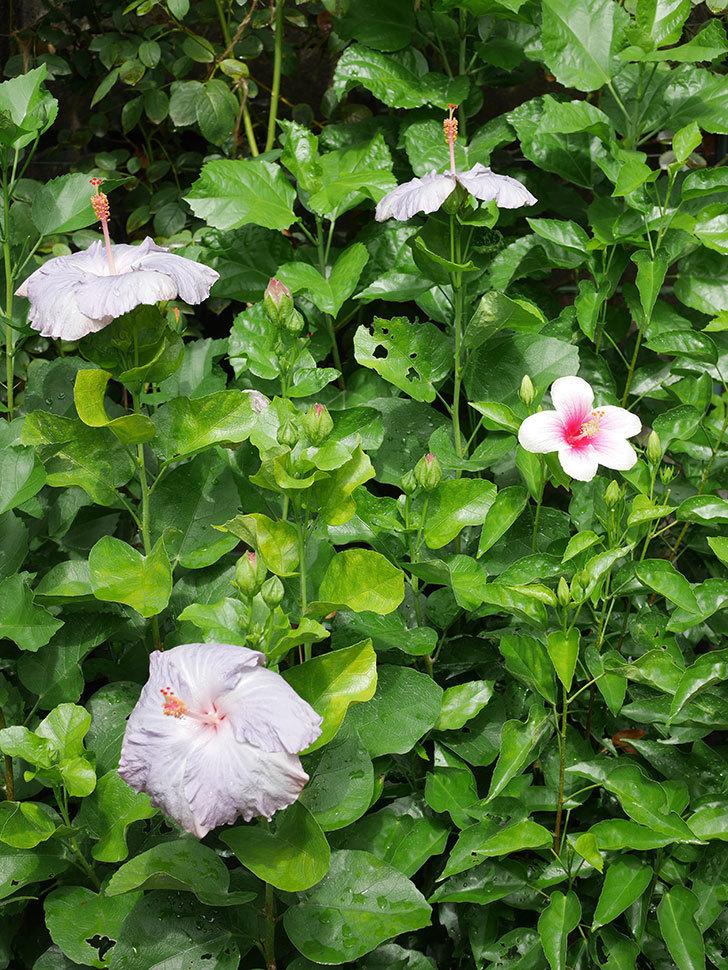 ハイビスカス サニーの花がまた3個咲いた。2020年-001.jpg
