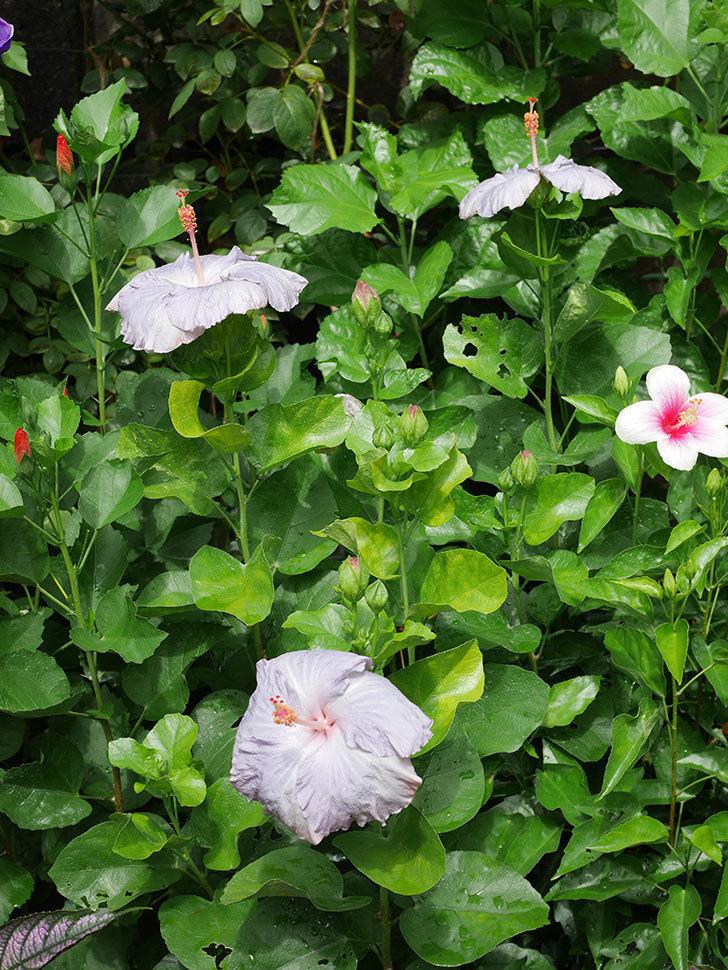 ハイビスカス サニーの花がまた3個咲いた。2020年-002.jpg