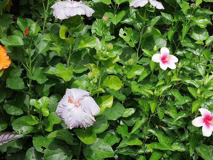 ハイビスカス サニーの花がまた3個咲いた。2020年-003.jpg