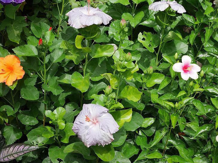 ハイビスカス サニーの花がまた3個咲いた。2020年-004.jpg