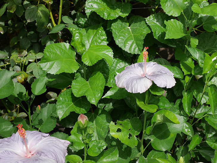 ハイビスカス サニーの花がまた3個咲いた。2020年-013.jpg