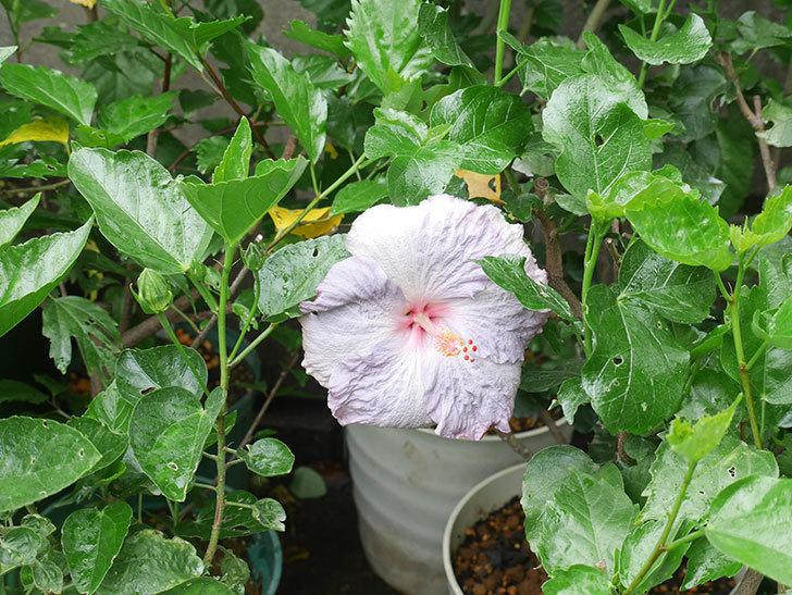 ハイビスカス サニーの花がまた咲いた。2020年-001.jpg