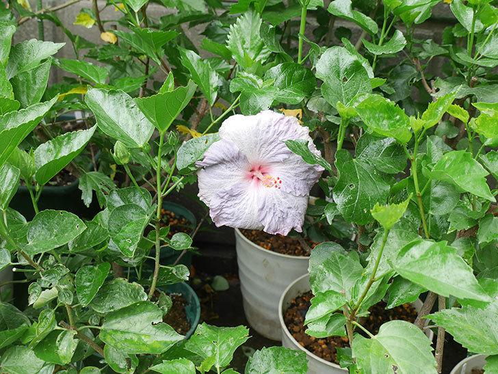 ハイビスカス サニーの花がまた咲いた。2020年-006.jpg