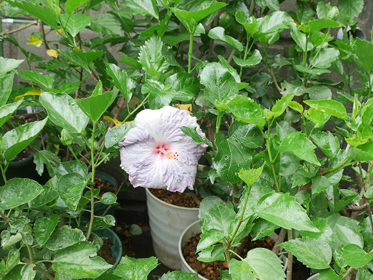 ハイビスカス サニーの花がまた咲いた。2020年-007.jpg