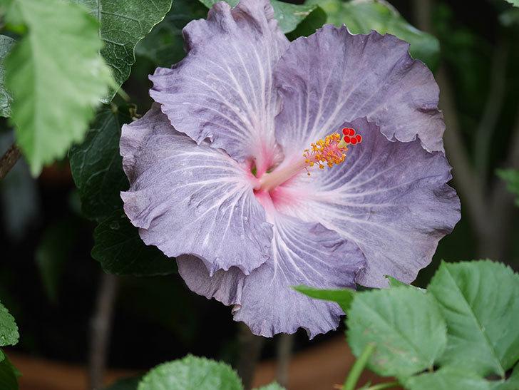 ハイビスカス サニーの花が咲いた。2020年-003.jpg