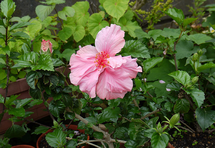 ハイビスカスが順調に咲き始める1.jpg
