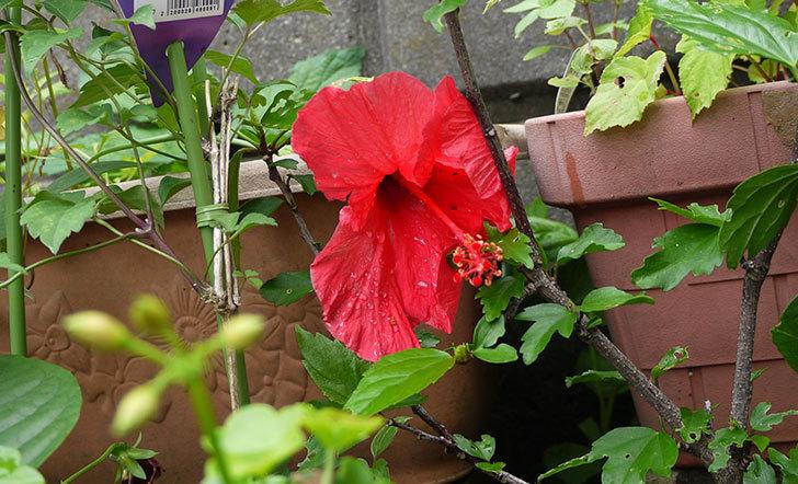 ハイビスカスが順調に咲き始める2.jpg