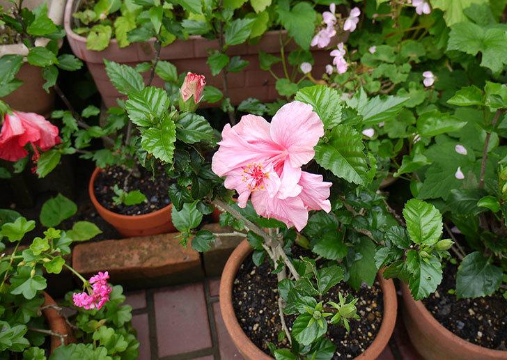 ハイビスカスが順調に咲き始める3.jpg