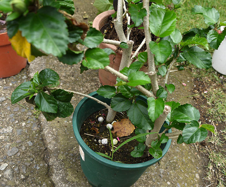 ハイビスカスを大きい鉢に植え替えた2.jpg