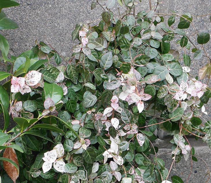 ハツユキカズラの葉が白っぽくなってきた。2019年-3.jpg