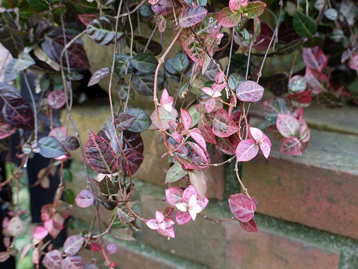 ハツユキカズラの葉が赤くなってきた。2015年-2.jpg